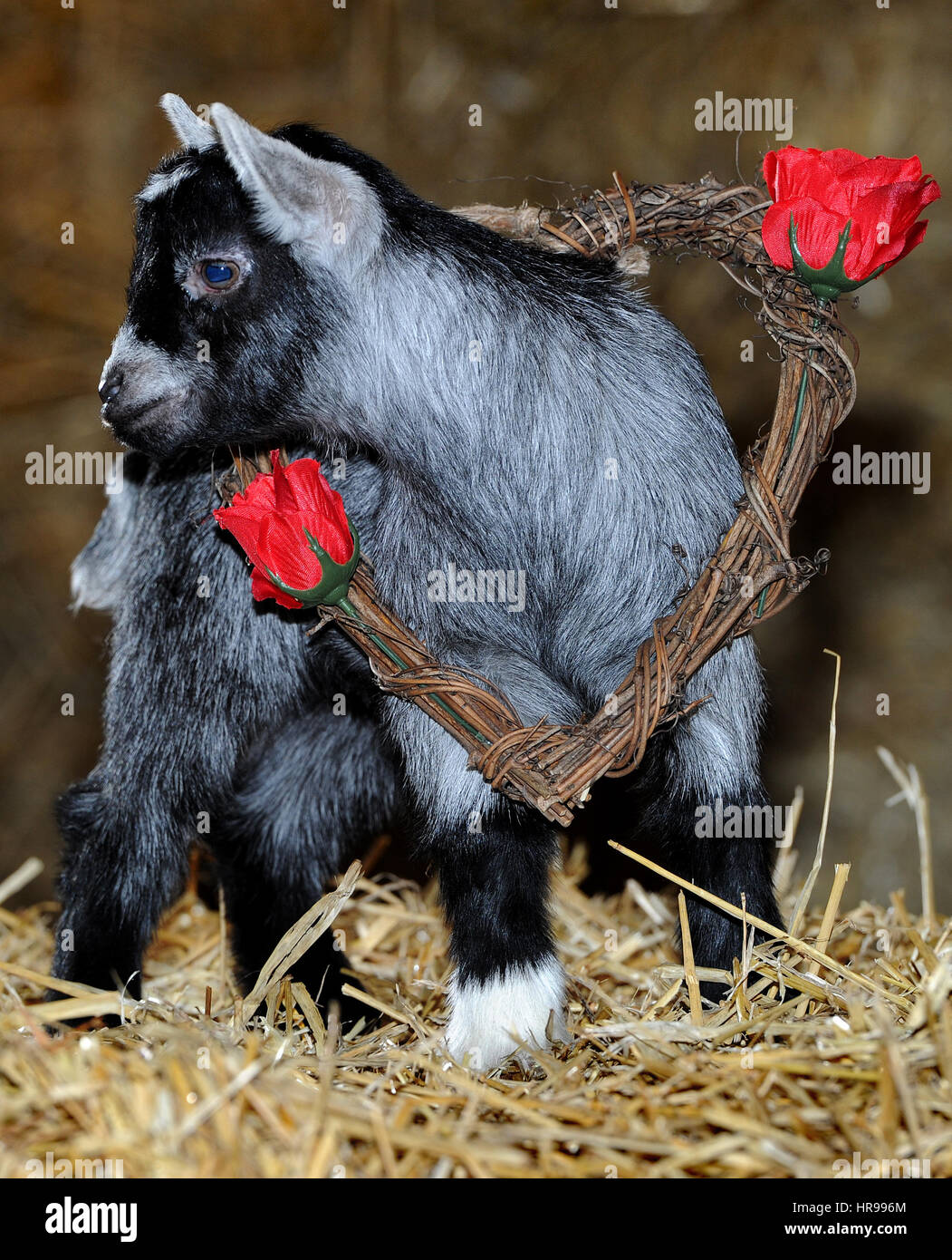 Love Is In The Air For St Valentine S Day At Smithills Open Farm In