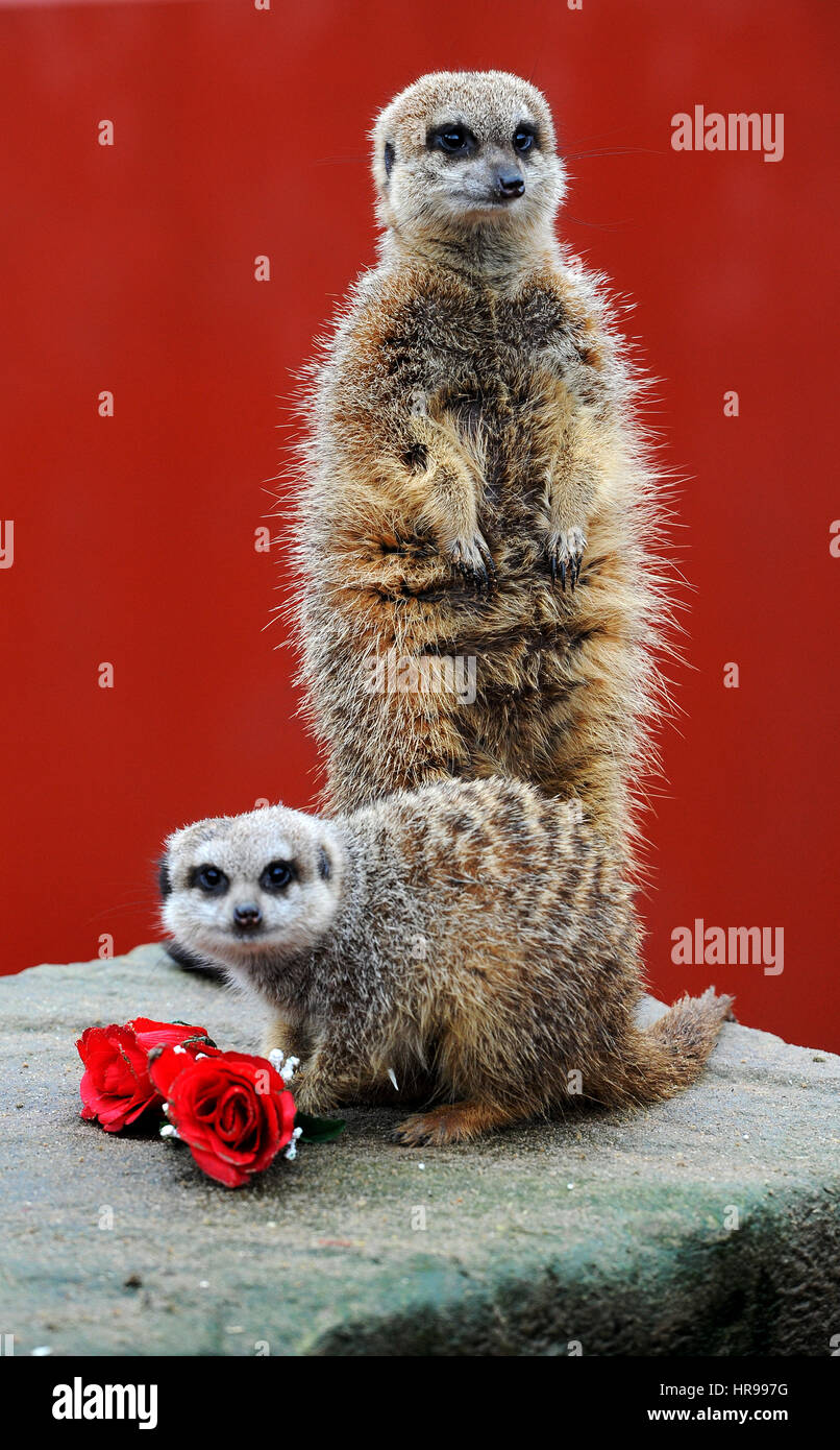 Love is in the air for St Valentine's Day at Smithills Open Farm in Bolton, Lancashire. Meerkat Alexander says - Stock Image