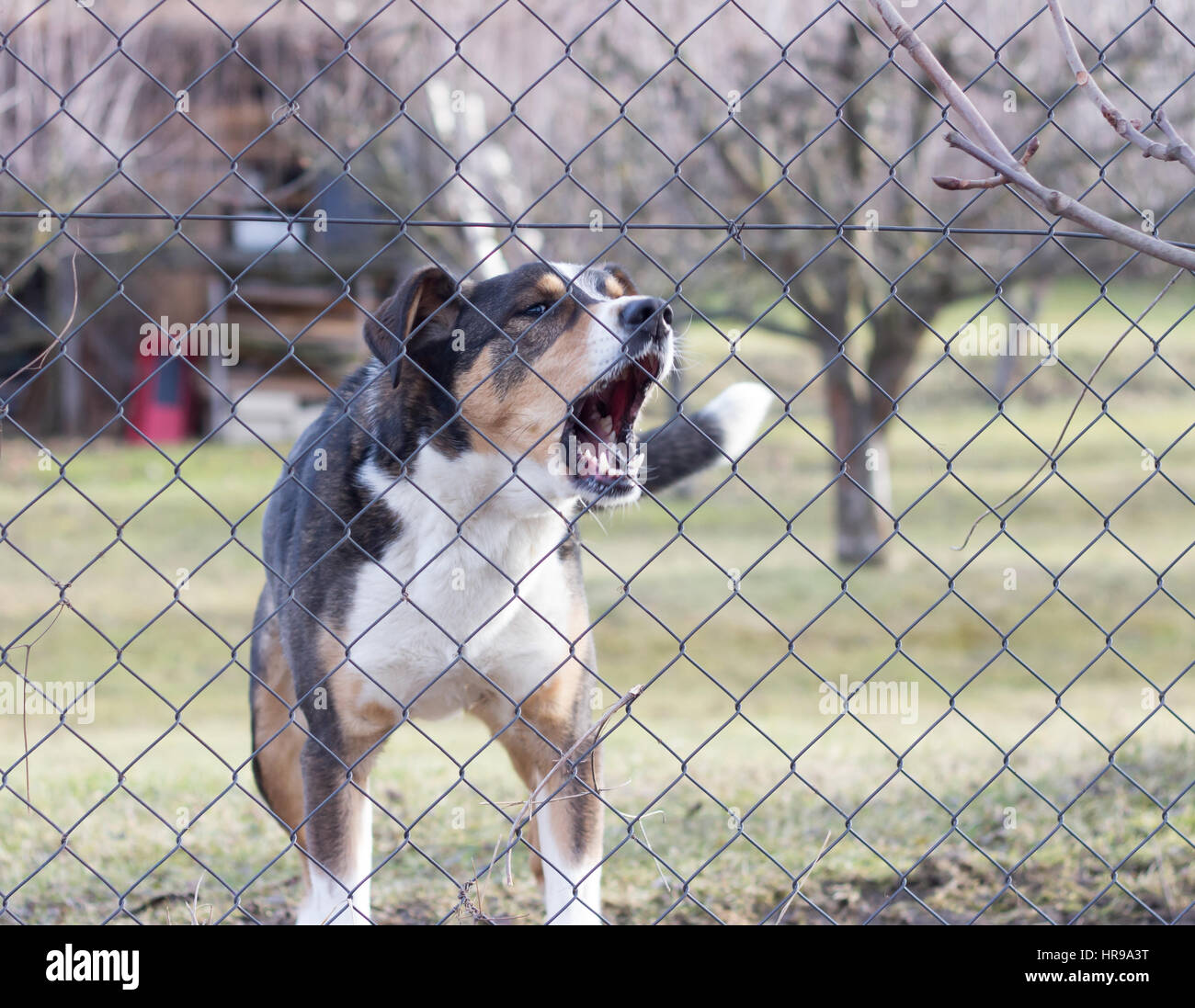 aggressive barking dog behind fence guarding garden Stock Photo