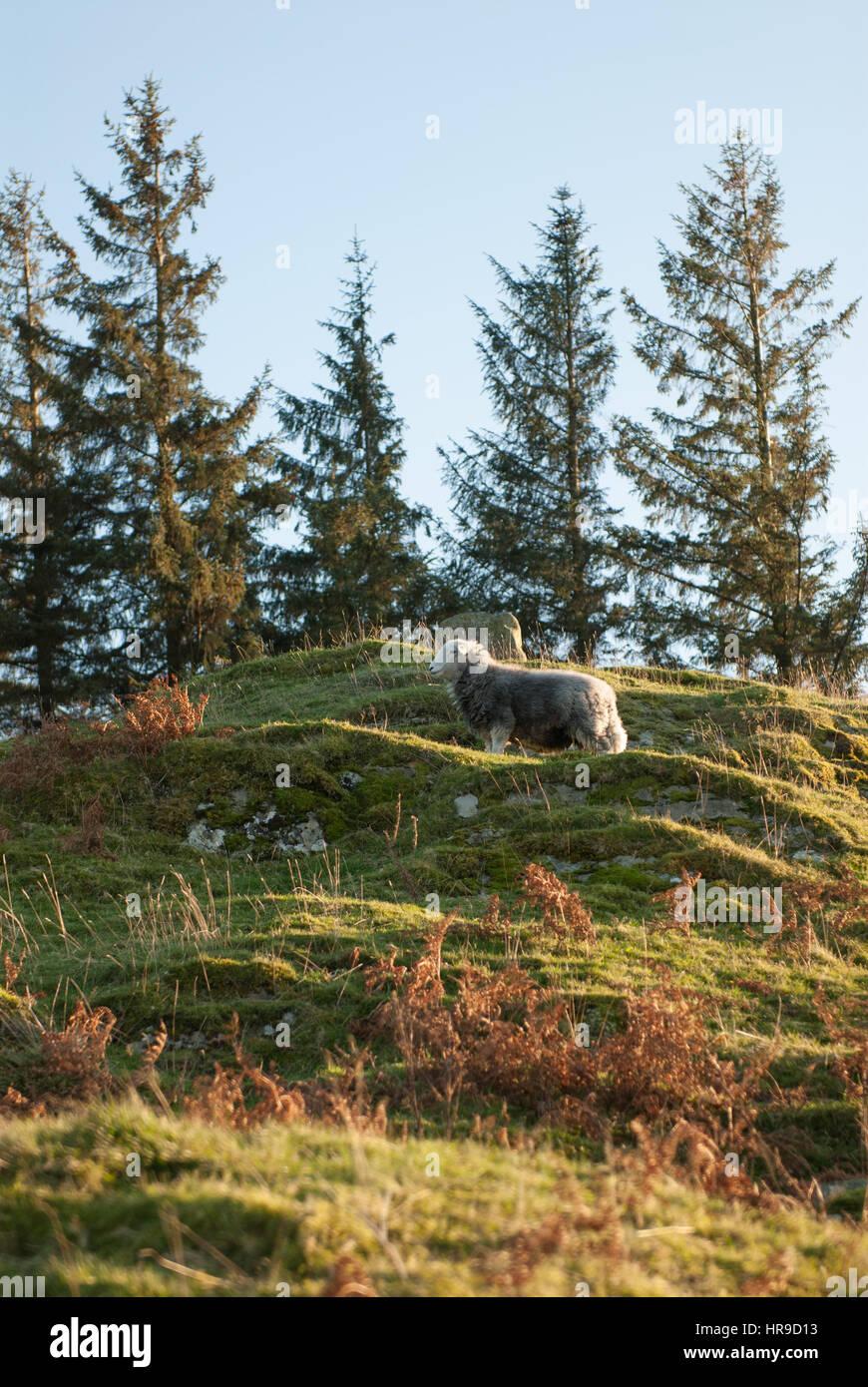 Sheep in Tarn Hows, The Lake District, Cumbria, England. U - Stock Image