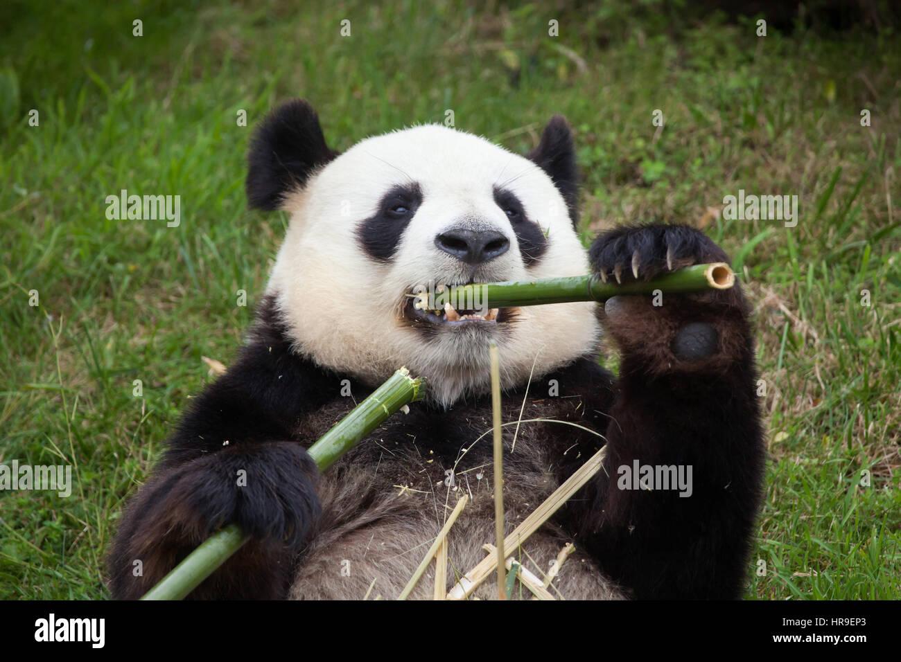 Giant panda (Ailuropoda melanoleuca) at Beauval Zoo in Saint-Aignan sur Cher, Loir-et-Cher, France. - Stock Image
