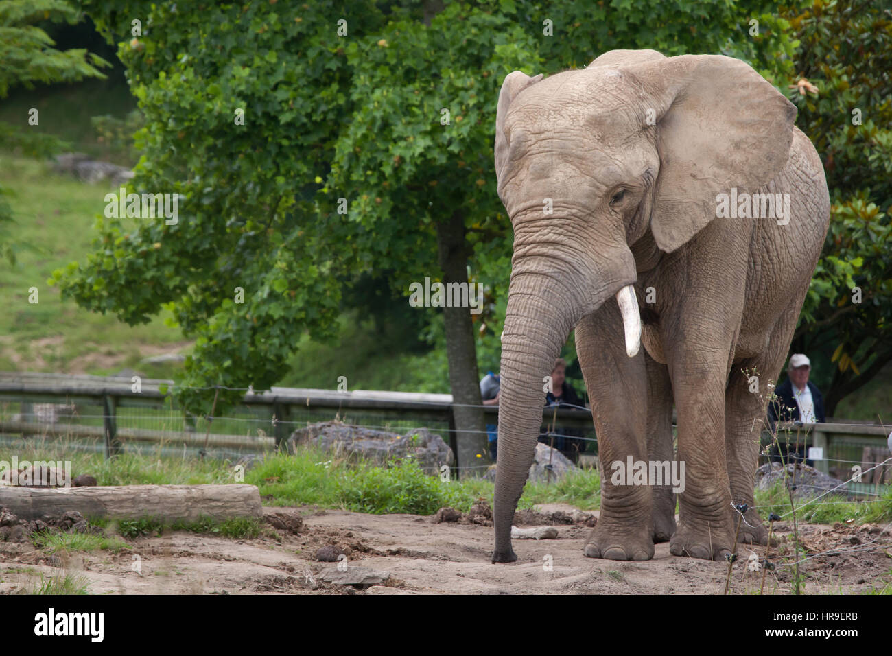 isitors look at the African bush elephant (Loxodonta africana) at Beauval Zoo in Saint-Aignan sur Cher, Loir-et - Stock Image