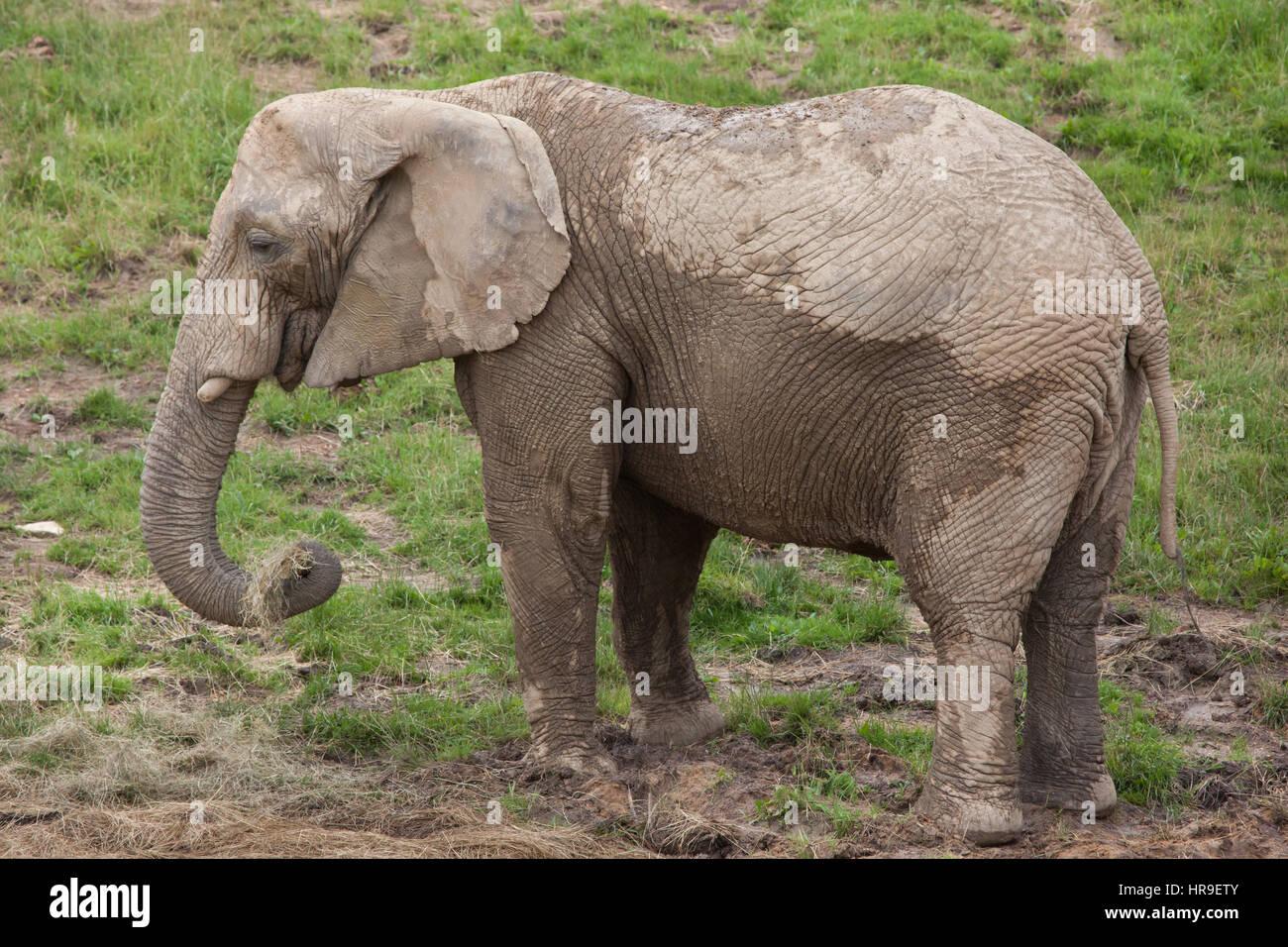 African bush elephant (Loxodonta africana). - Stock Image
