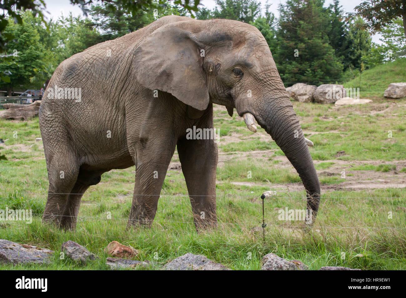 African bush elephant (Loxodonta africana) at Beauval Zoo in Saint-Aignan sur Cher, Loir-et-Cher, France. - Stock Image