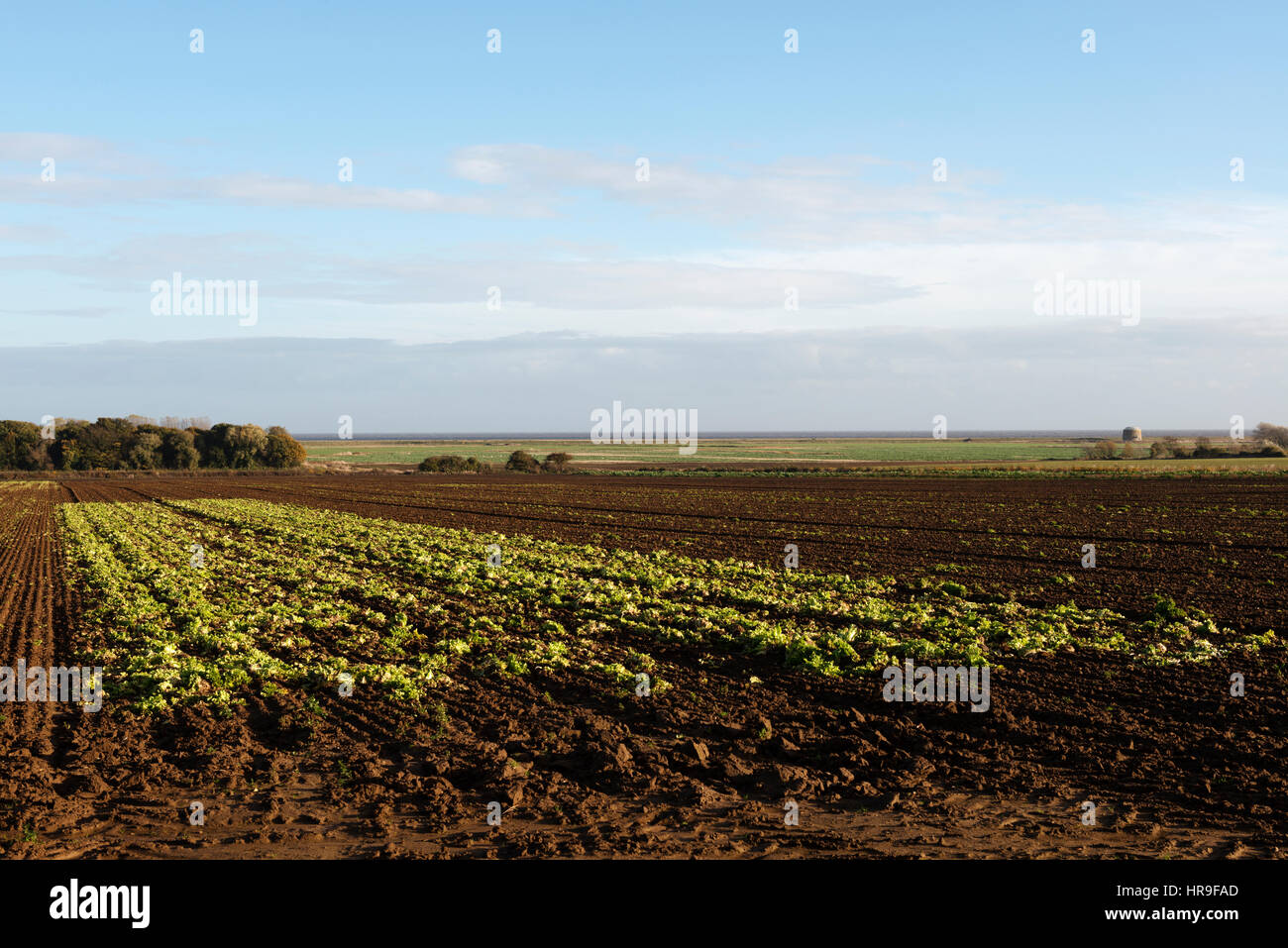 Remains of lettuce harvested in large field, Alderton, Suffolk, UK. Stock Photo