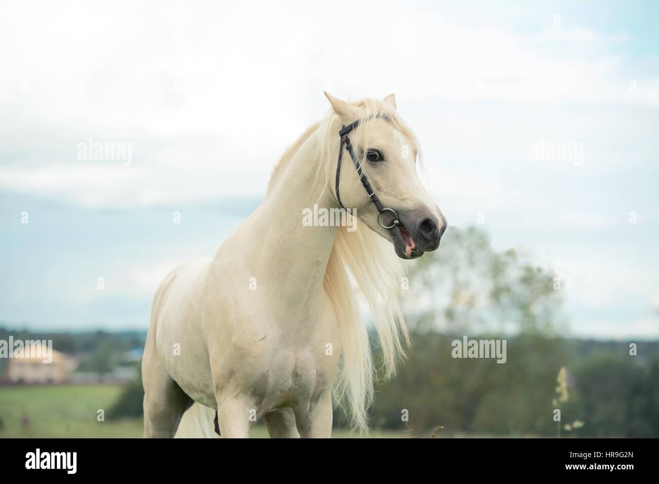 beautiful cream pony stallion in meadow - Stock Image