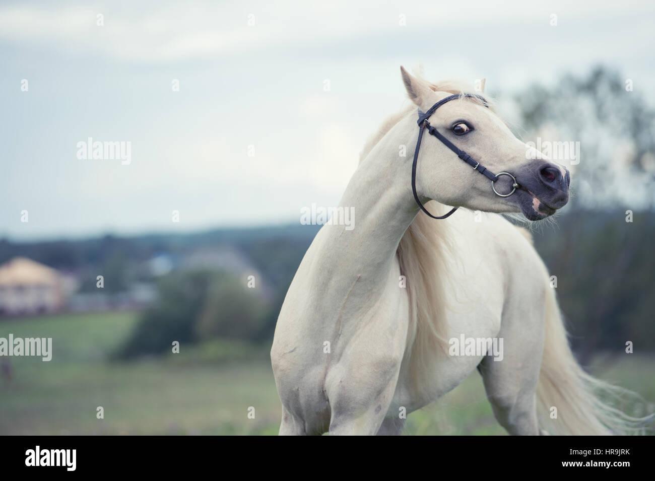 beautiful cream pony stallion running in field. cloudy day - Stock Image