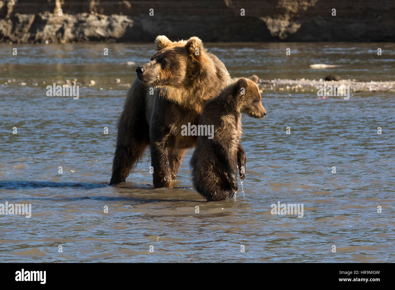 Mother bear and small cub fishing on river in wildlife - Stock Image