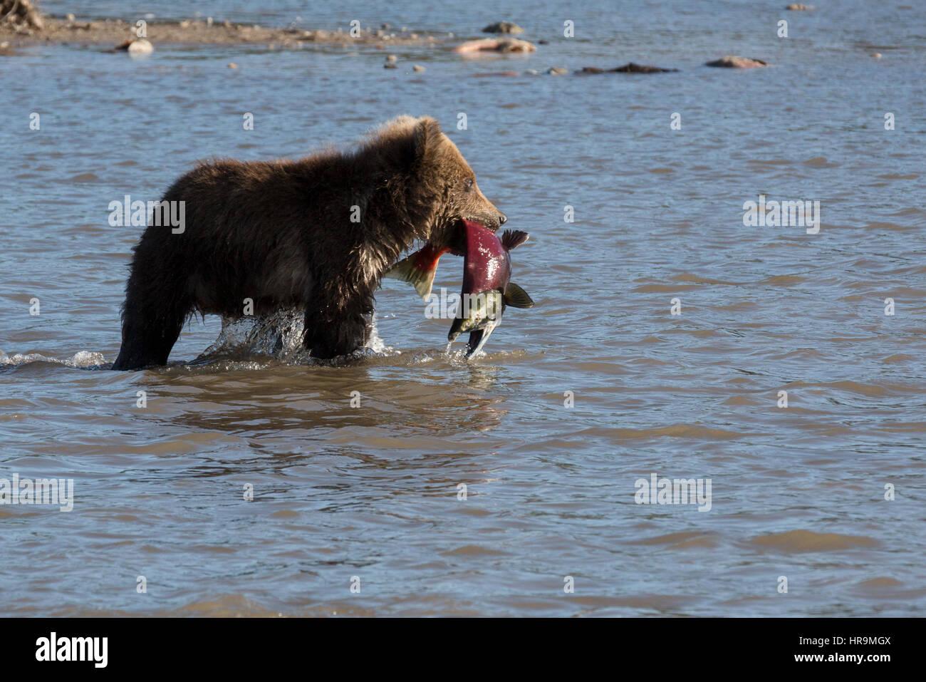 A wild brown bear eats fish in natural habitat - Stock Image