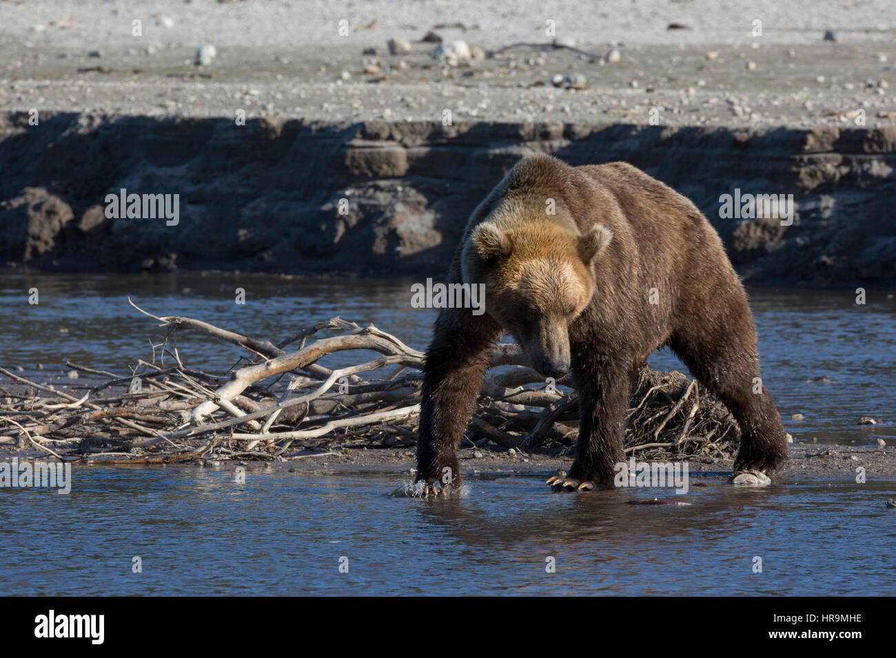 A wild brown bear is fishing in a lake in its habitat - Stock Image