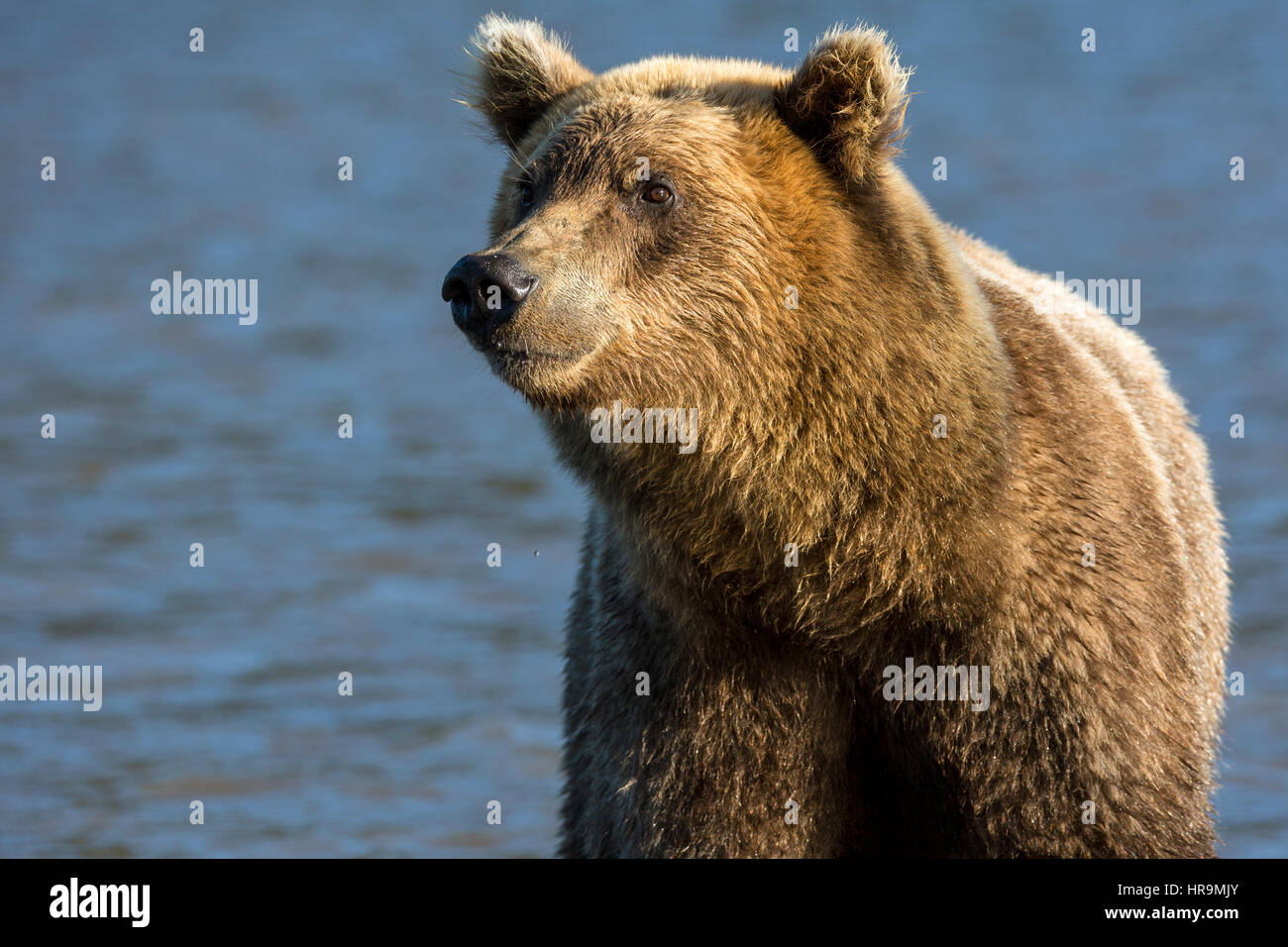 Brown bear catching fish in Kurile Lake of Southern Kamchatka Wildlife Refuge in Russia Stock Photo