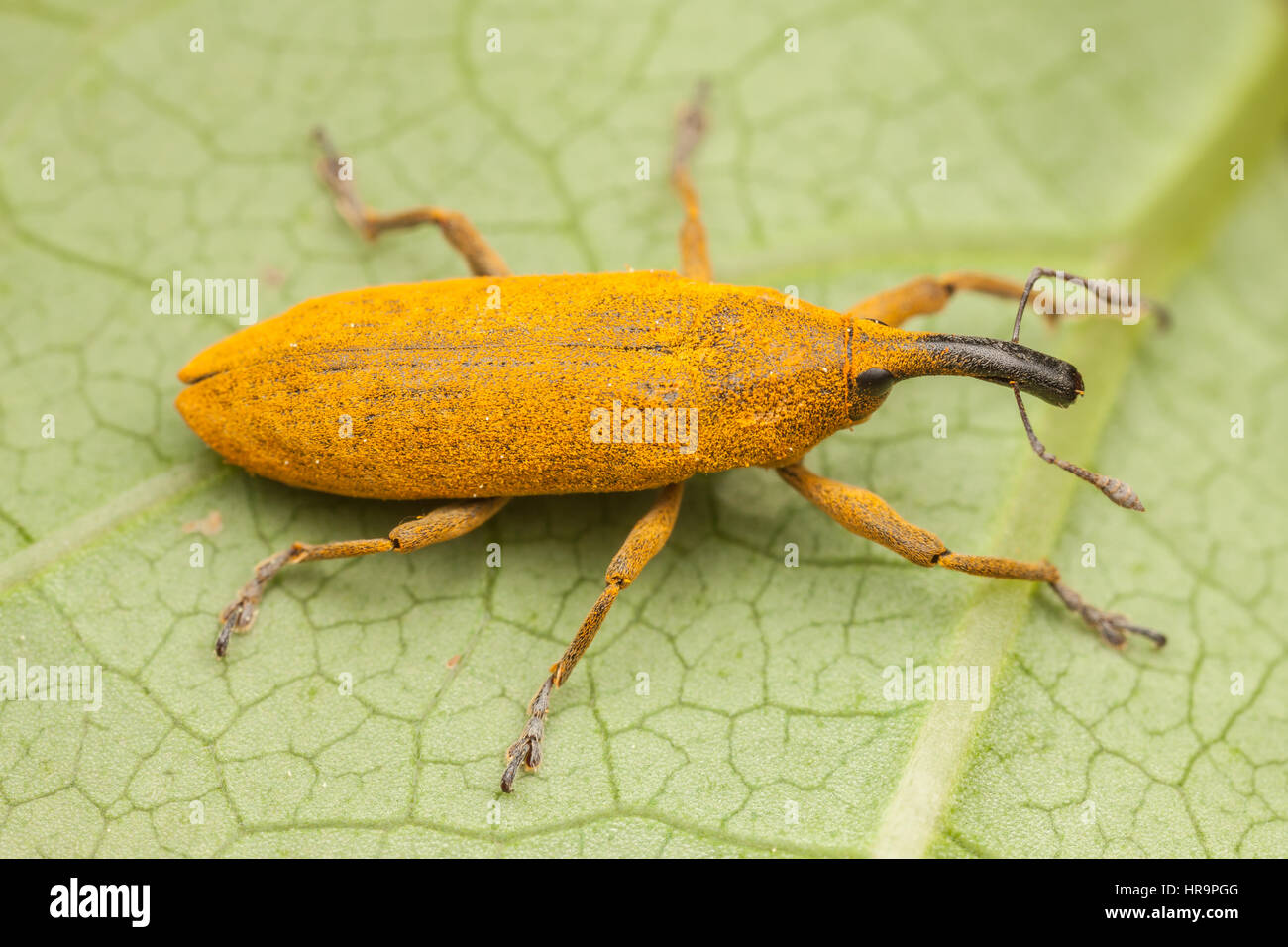 A Rhubarb Weevil (Lixus concavus) on a leaf. - Stock Image