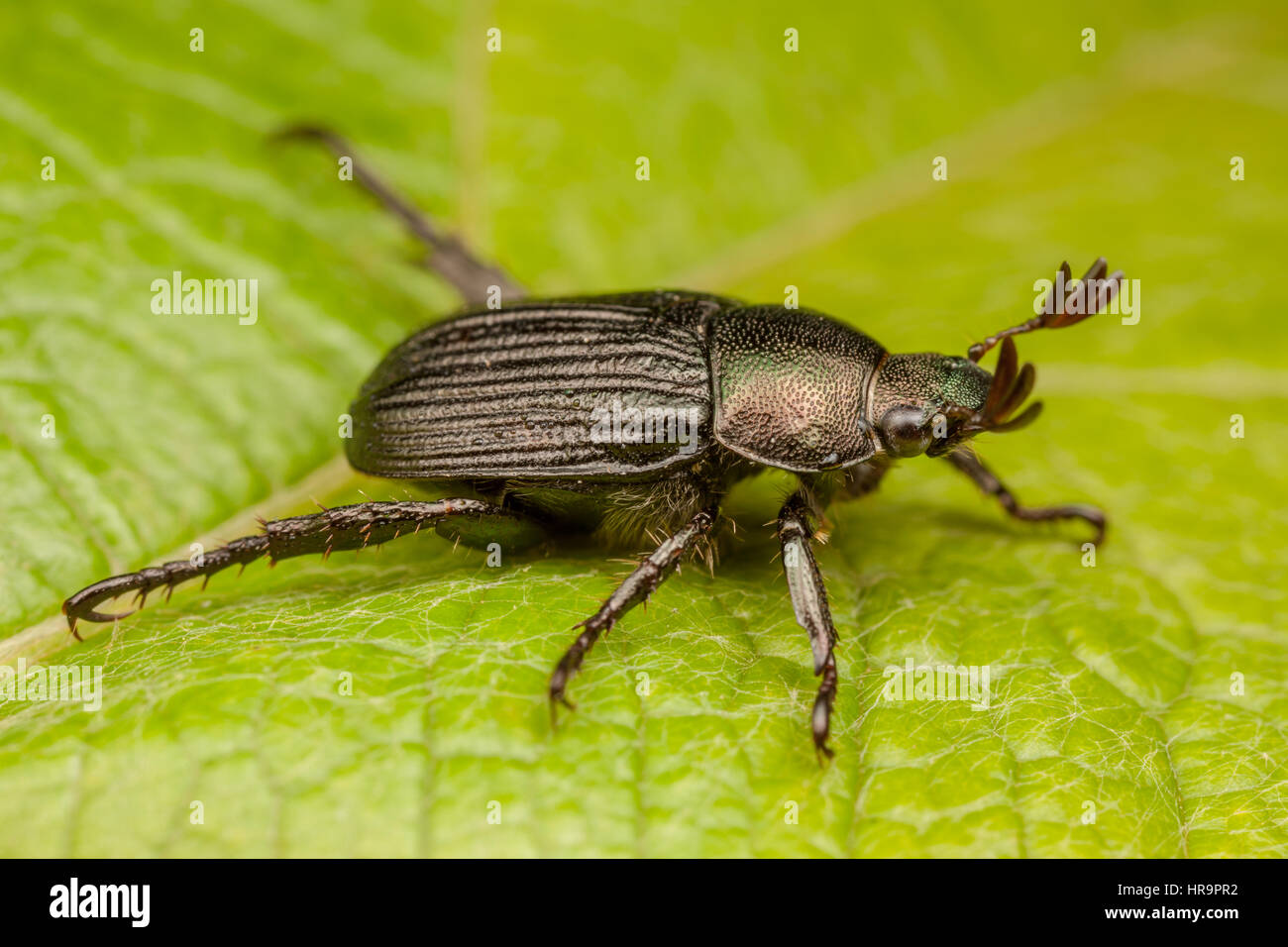 A dark form of the Oriental Beetle (Exomala orientalis) on a leaf. - Stock Image