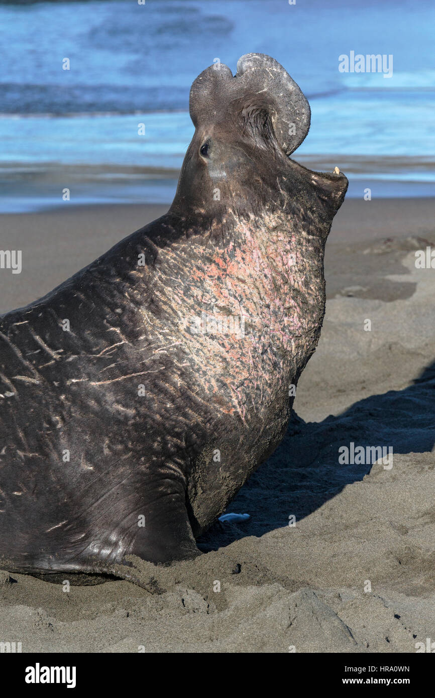 Northern Elephant Seal - Stock Image