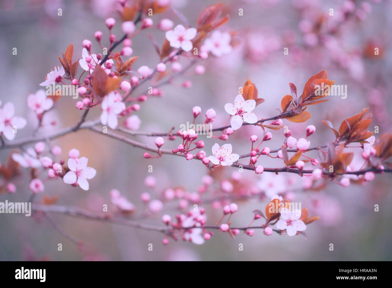 Tree flower blossoms - Stock Image