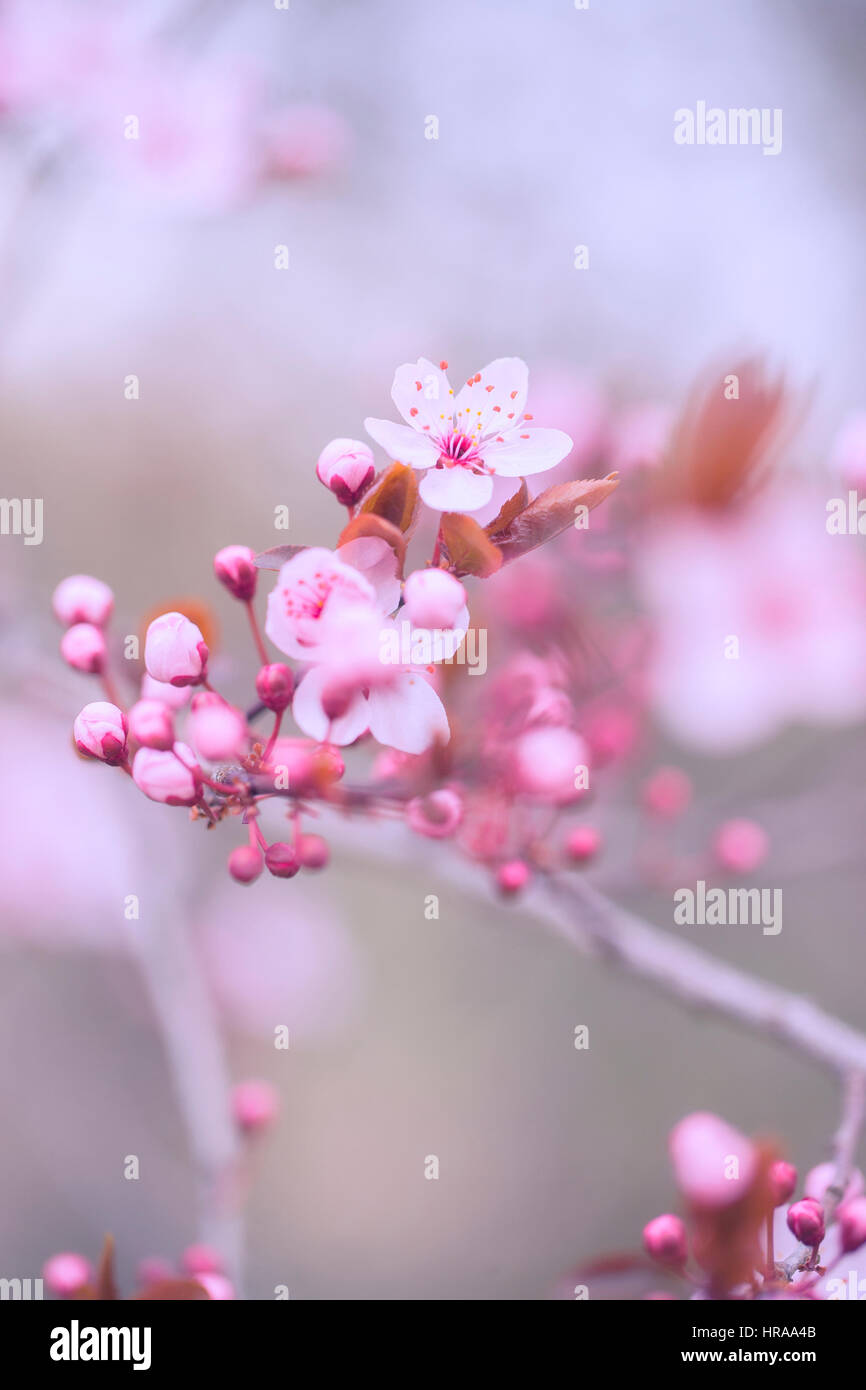 Tree flower blossoms - Stock Image