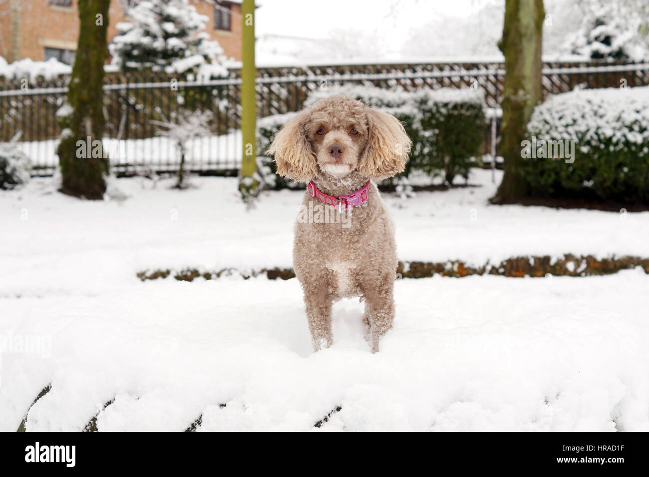 Poodles in the Snow, Walks in Strathaven - Stock Image