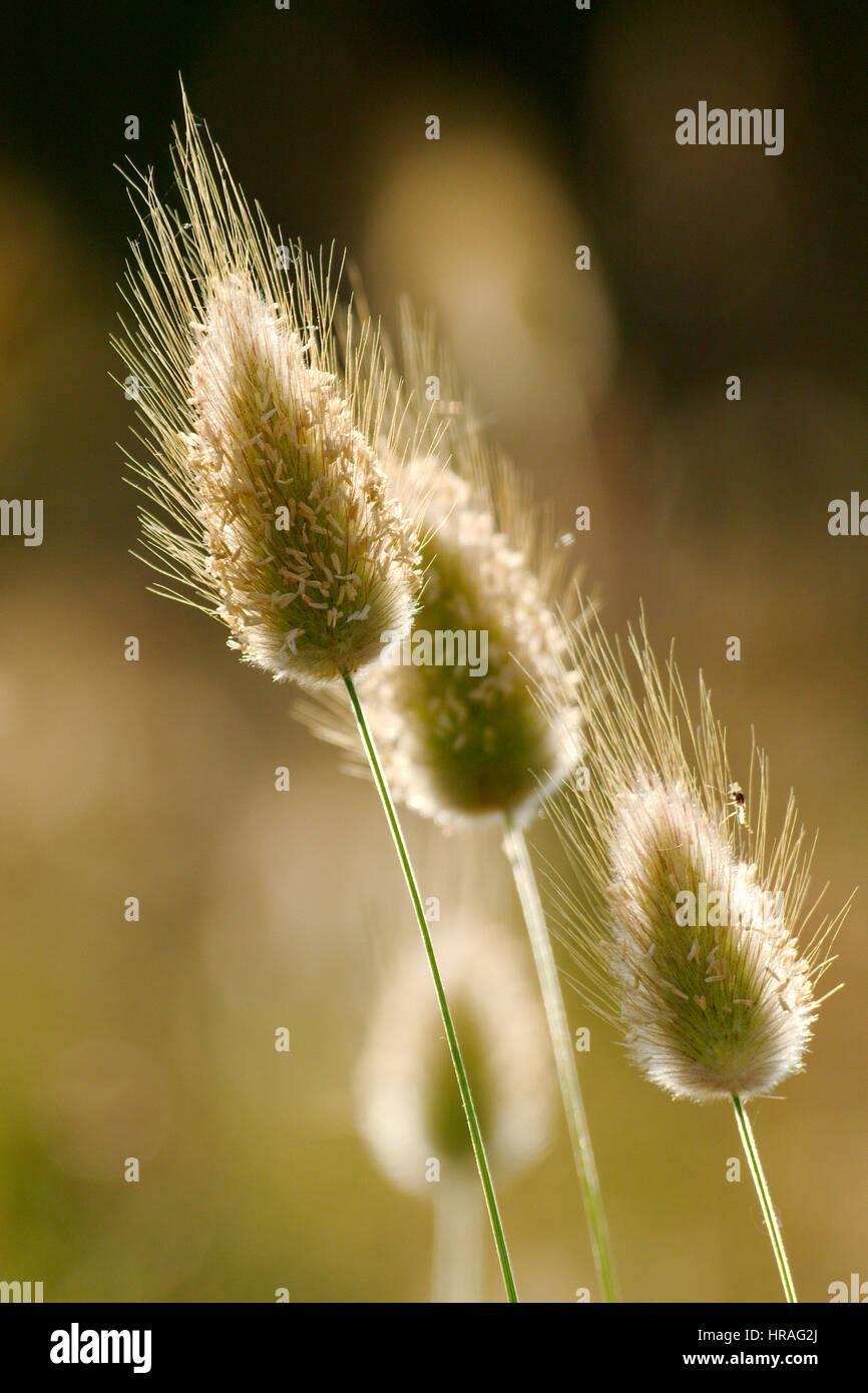 Closeup of wild grass seeds with bokeh - Stock Image