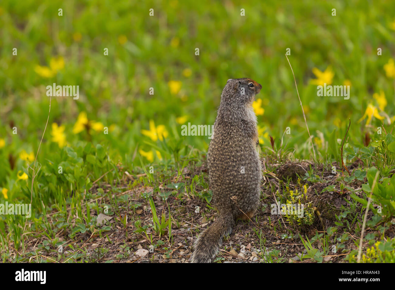 Columbian Ground Squirrel (Spermophilus columbianus) looking for danger in Glacier National Park, MT, USA - Stock Image