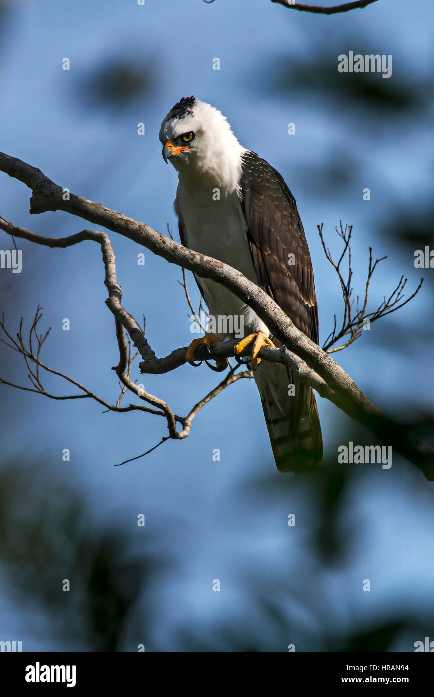 Black-and-white Hawk-Eagle (Spizaetus melanoleucus), photographed in Viana, Espírito Santo, Brazil. - Stock Image