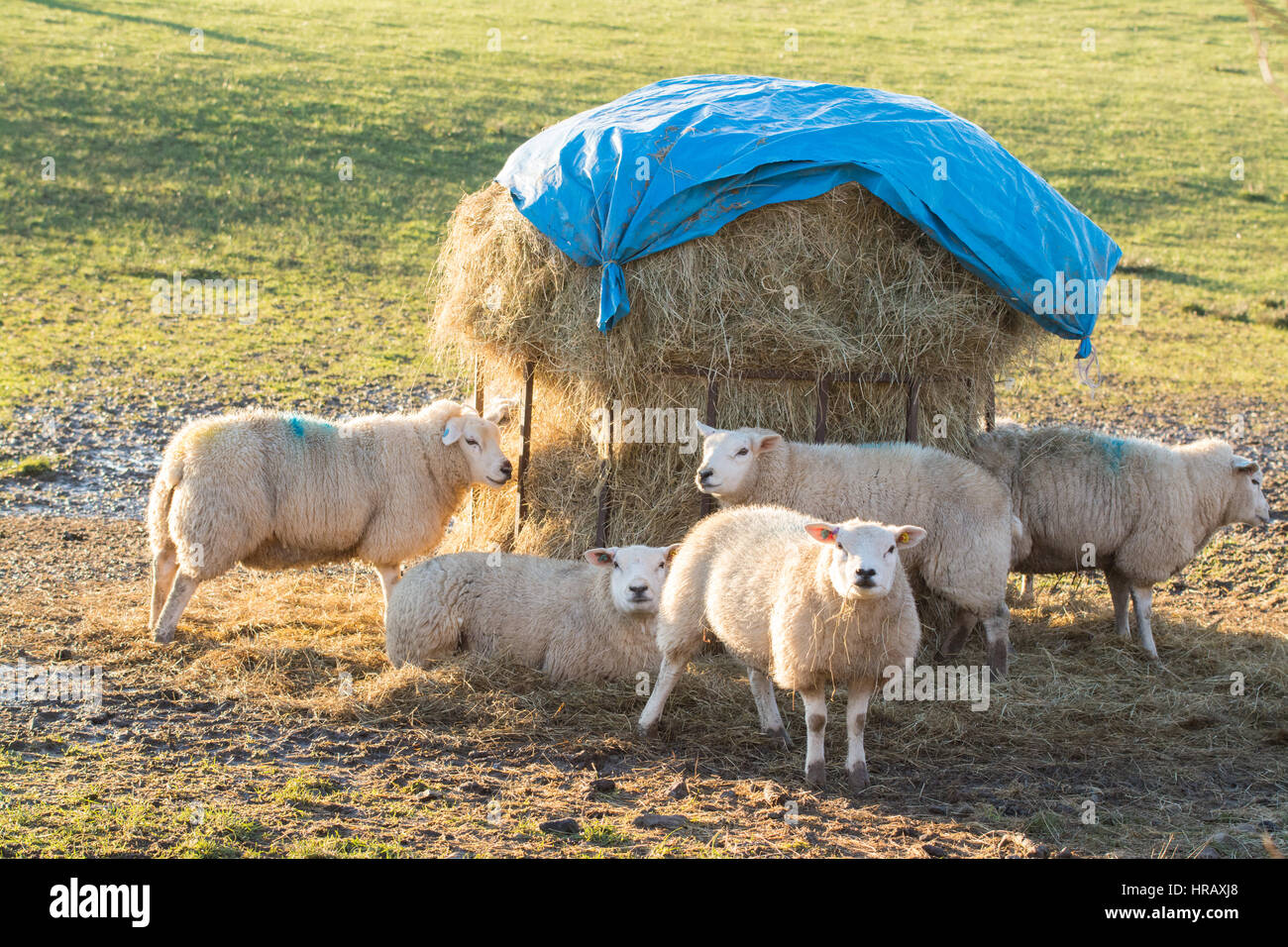 Stirlingshire, Scotland, UK. 28th Feb, 2017. UK weather - sheep enjoying late afternoon sunshine on a beautiful - Stock Image