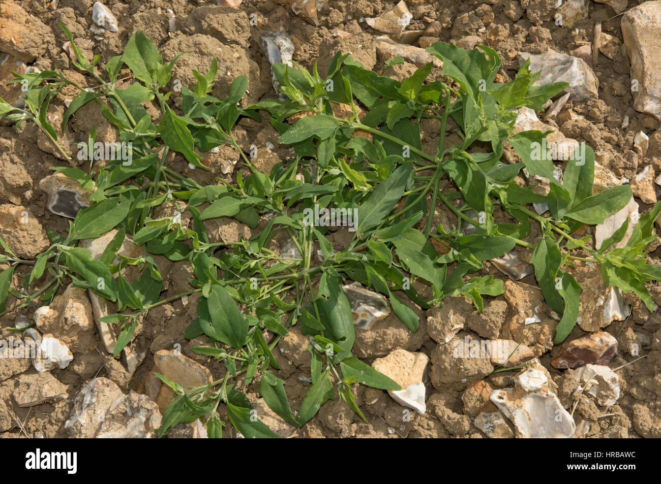 Common orache, Atriplex patula, spreading, prostrate plant on waste cultivated land , Berkshire, July - Stock Image