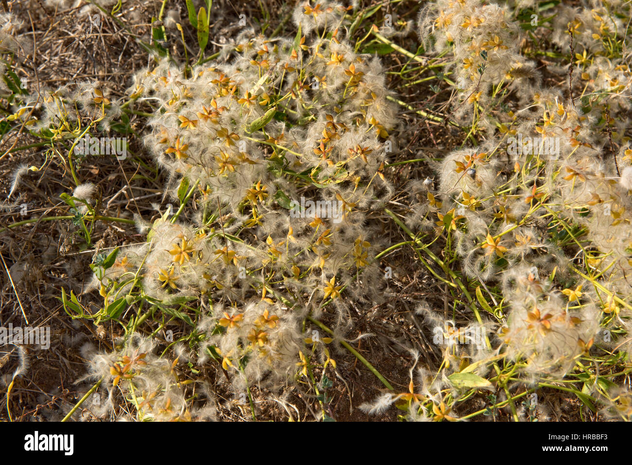 Traveller's joy, Clematis vitalba, with hairy seedheads on low growing bushes on the Mediterranean coast - Stock Image