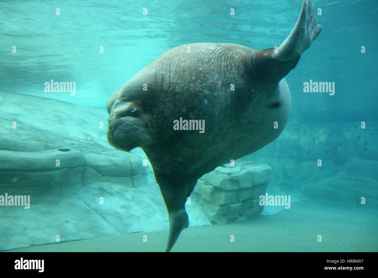 sea lions in zoo park Stock Photo