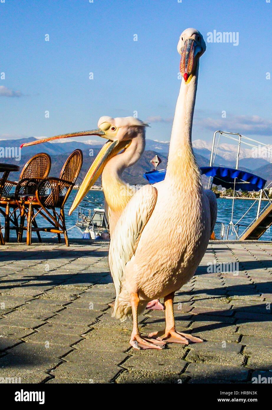 pelican couple. pelikan cifti Stock Photo