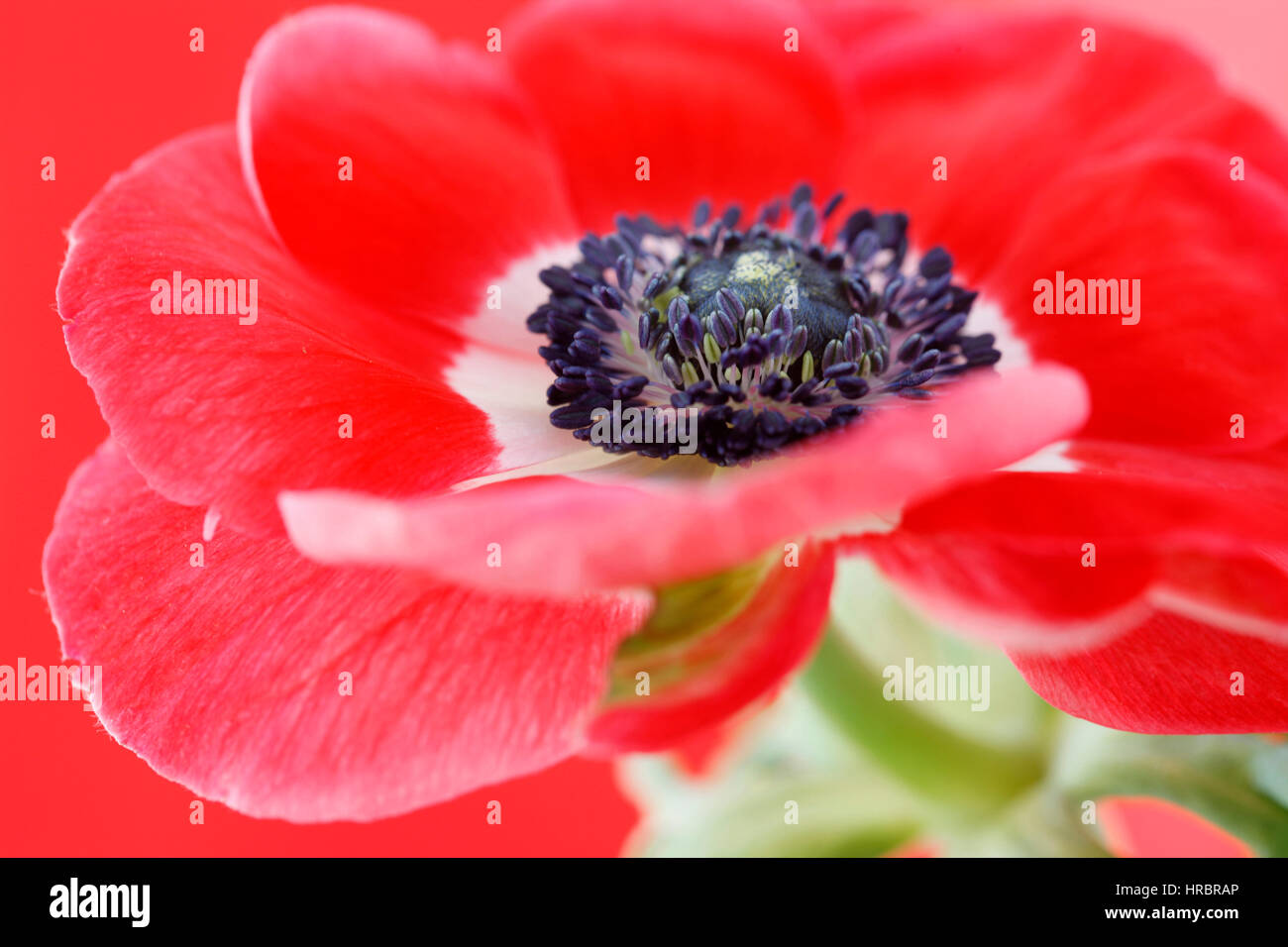 exquisite red anemone still life - red on red Jane Ann Butler Photography  JABP1845 - Stock Image