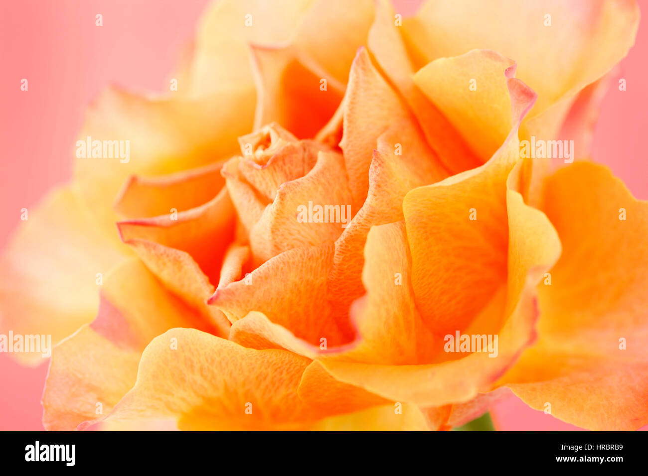 beautiful orange rose on pink still life - concept ageing Jane Ann Butler Photography JABP1842 - Stock Image