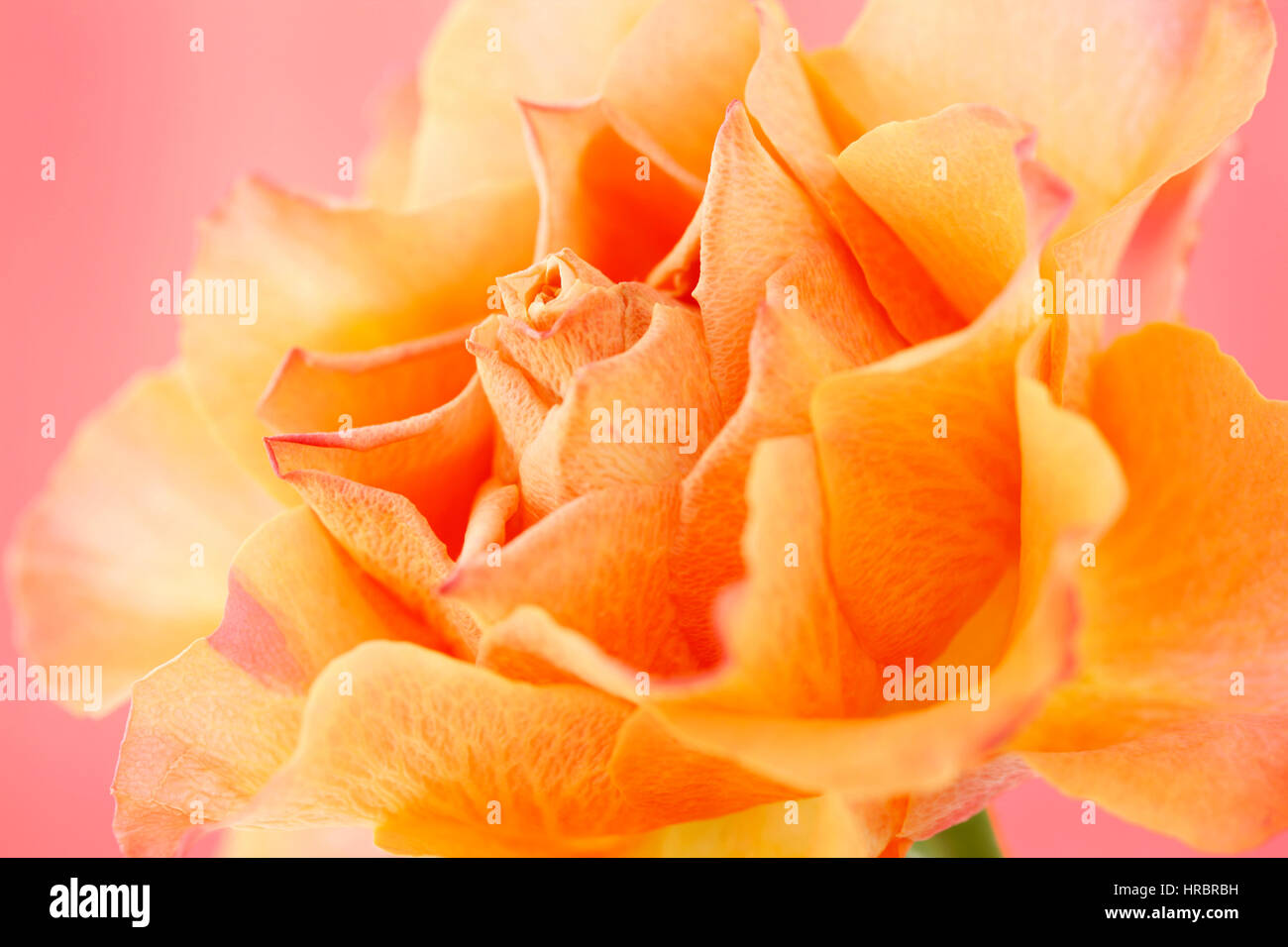 beautiful orange rose on pink still life - concept ageing Jane Ann Butler Photography  JABP1841 - Stock Image
