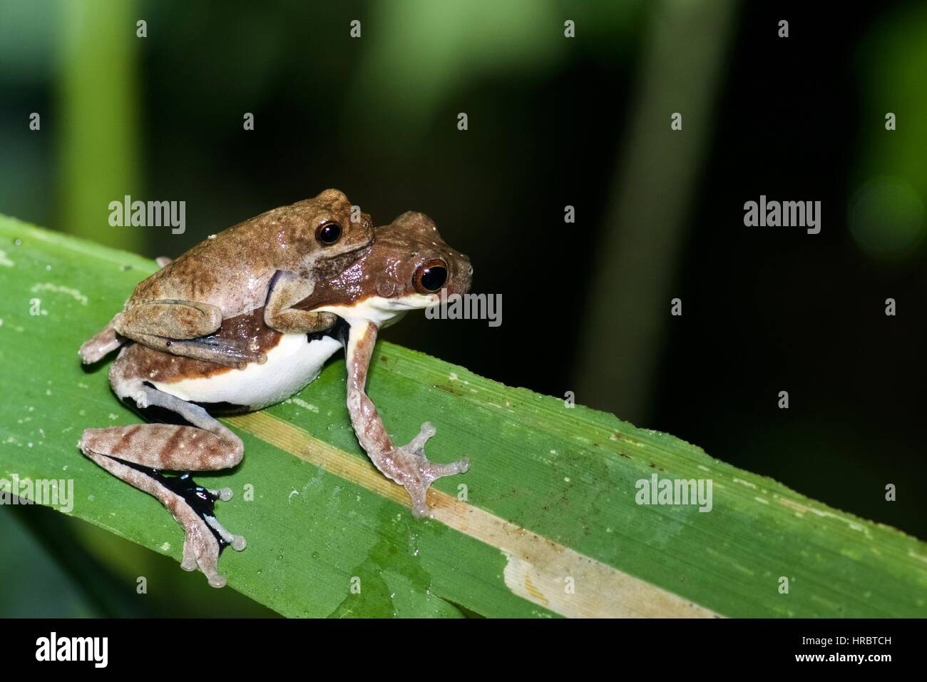A pair of treefrogs (Dendropsophus timbeba) in amplexus in the Amazon rainforest in Loreto, Peru - Stock Image