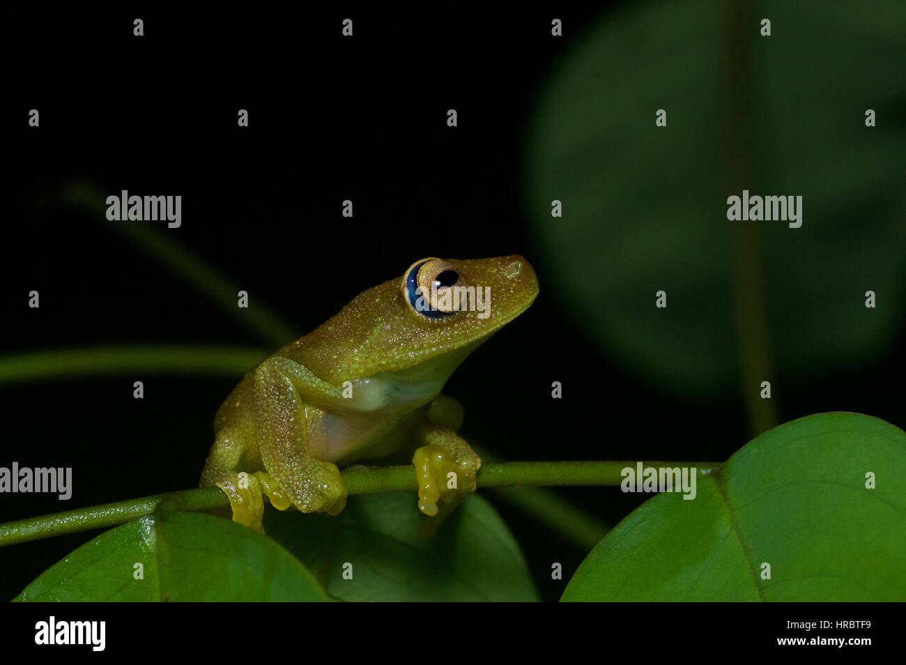 A Rough-skinned Green Tree Frog (Hypsiboas cinerascens) in the Amazon rainforest in Loreto, Peru - Stock Image