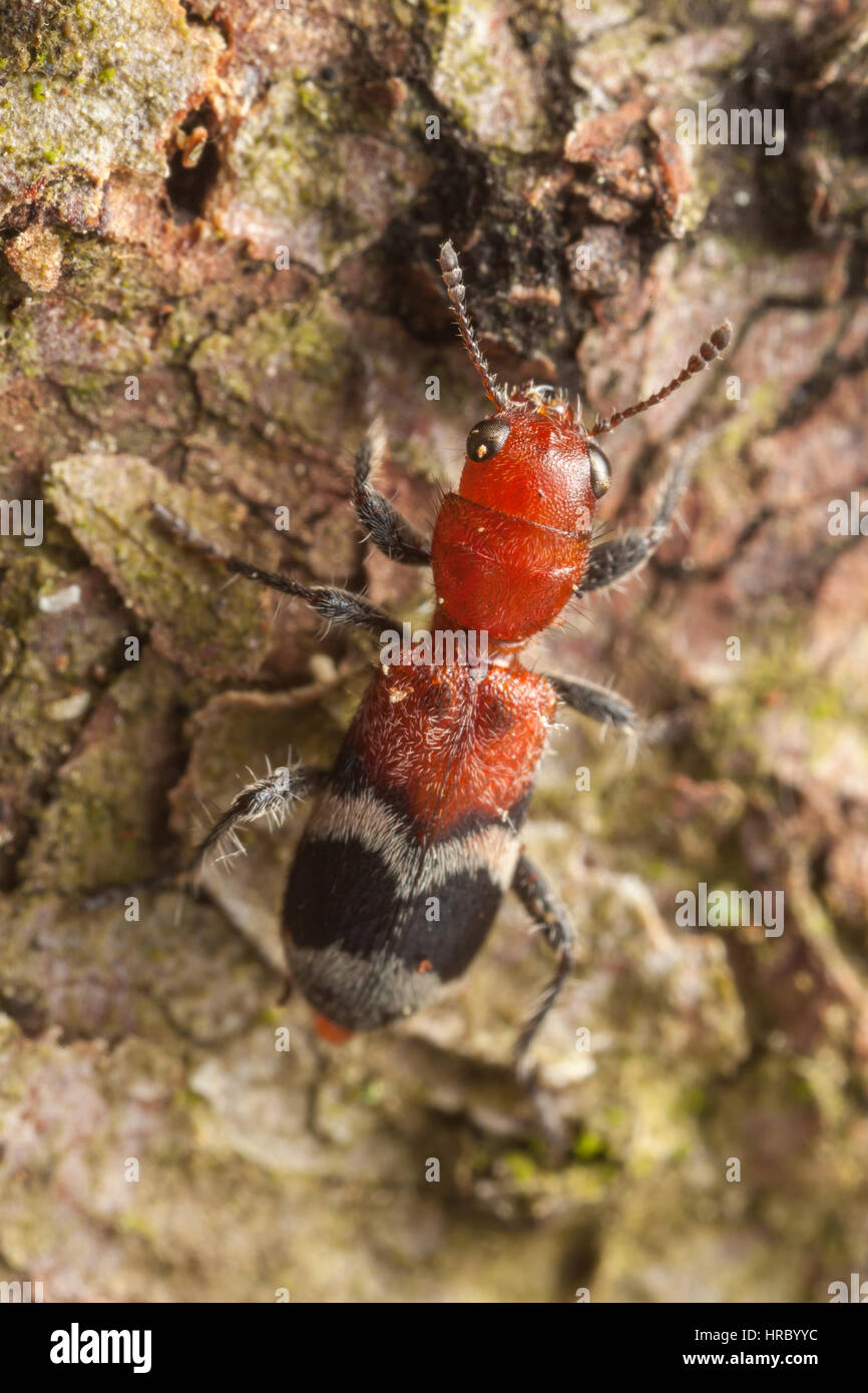 A Checkered Beetle (Enoclerus nigripes) explores the side of a tree. - Stock Image