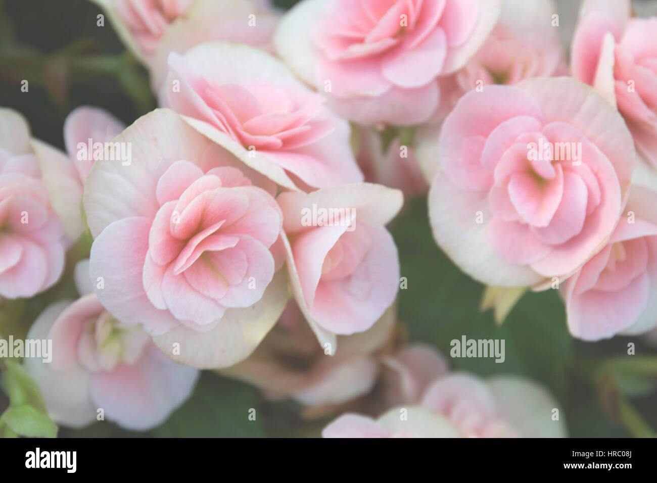 Pink and white begonia stock photos pink and white begonia stock spring floral background light pink begonia flower bouquet close up selective focus soft focus blurred flowers mightylinksfo