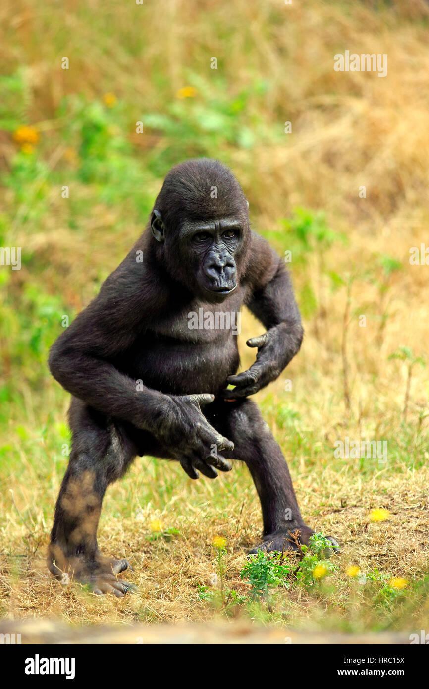 Lowland Gorilla, (Gorilla gorilla), young impressing, Africa - Stock Image