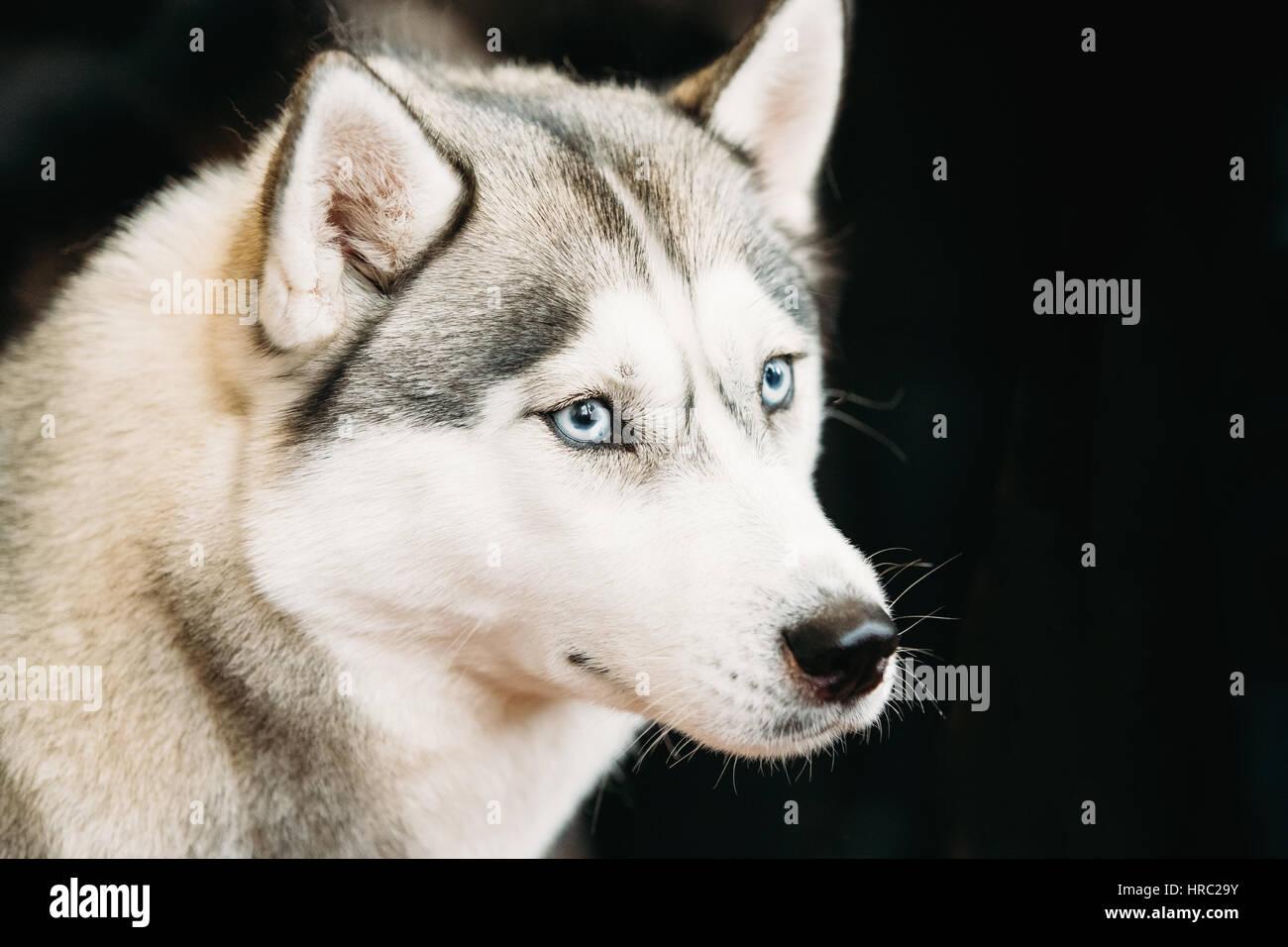 White And Gray Adult Siberian Husky Dog Or Sibirsky Husky With Blue