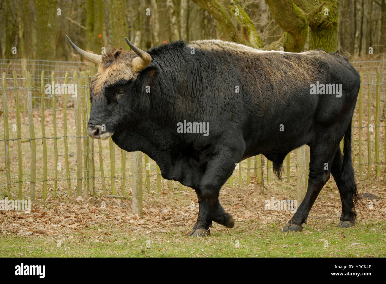 Bull Horns For Sale >> Aurochs animal Bos primigenius with large horns Stock Photo: 134888118 - Alamy