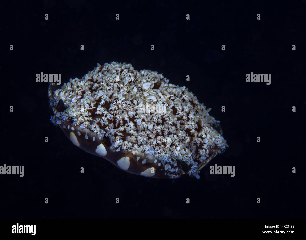 Upside-down jellyfish (Cassiopeia sp.) floating in mid-water appears unearthly. Raja Ampat, Indonesia. - Stock Image