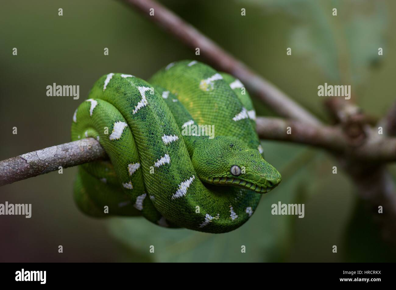 Emerald Tree Boa Stock Photos & Emerald Tree Boa Stock Images - Alamy