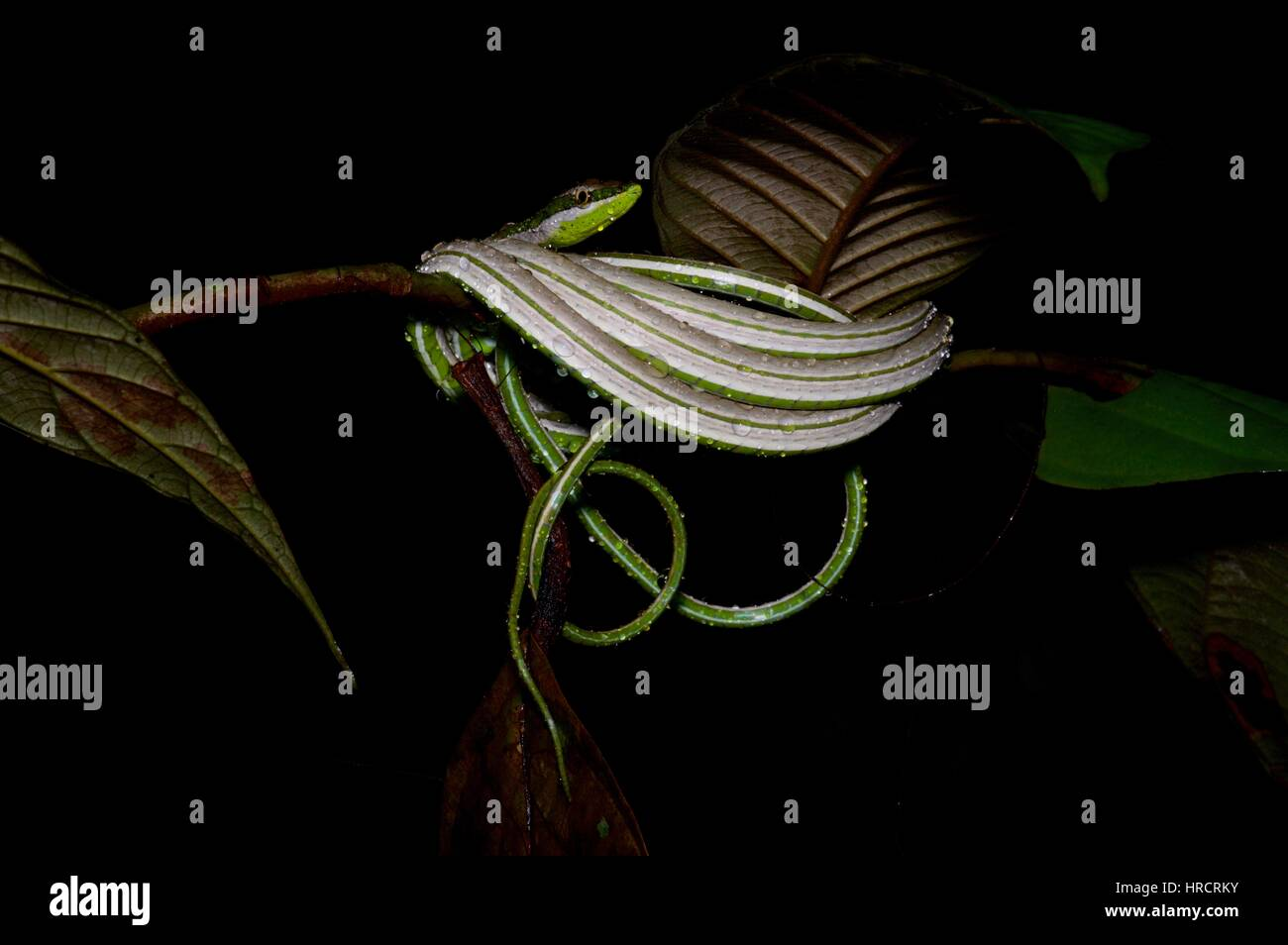 A dripping wet Green-striped Vine Snake (Philodryas argentea) coiled in the Amazon rainforest at night in Loreto, Stock Photo
