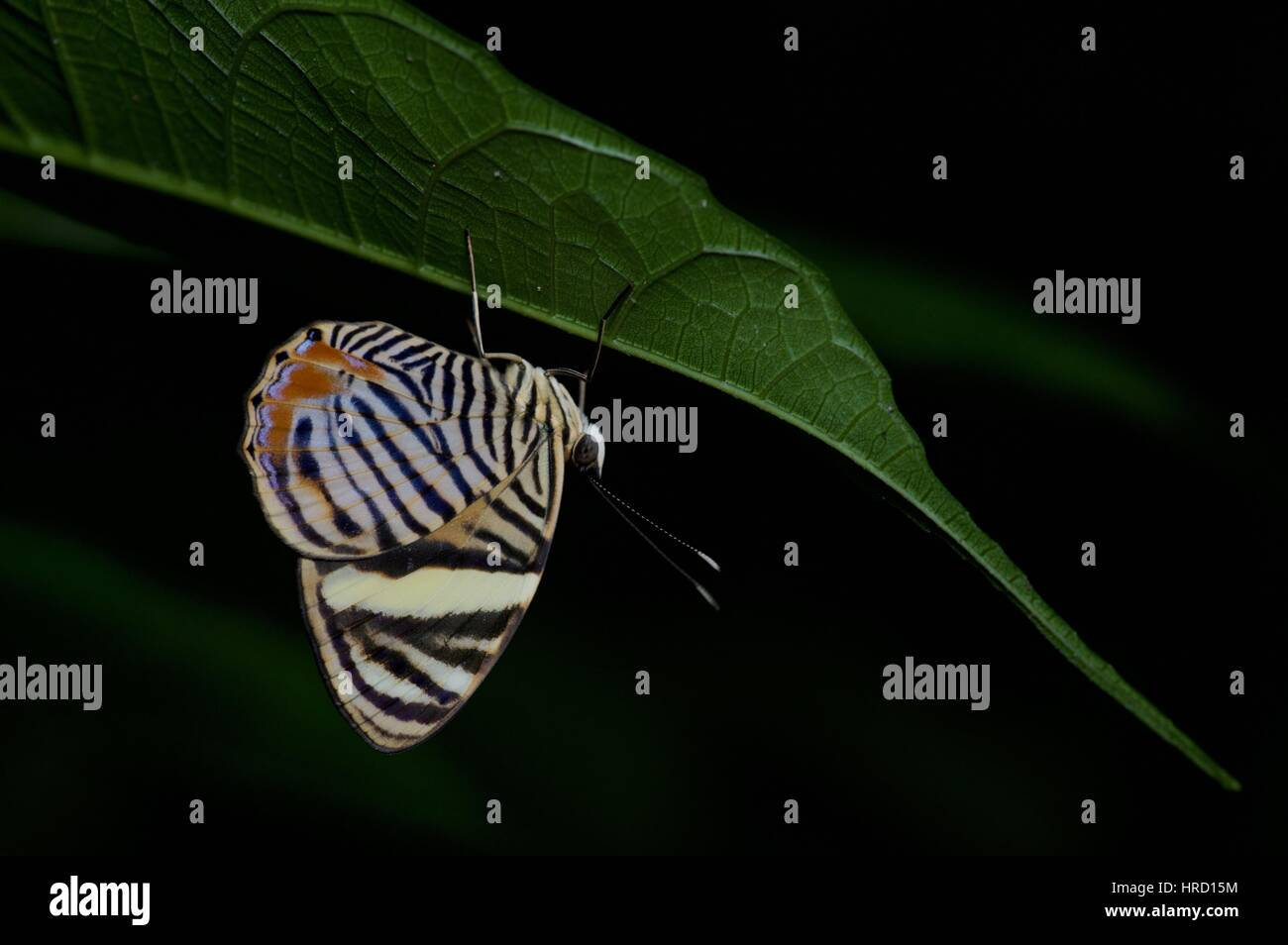A Tiger Beauty (Tigridia acesta) hanging upside-down in the rainforest at night on Pipeline Road in Gamboa, Panama - Stock Image