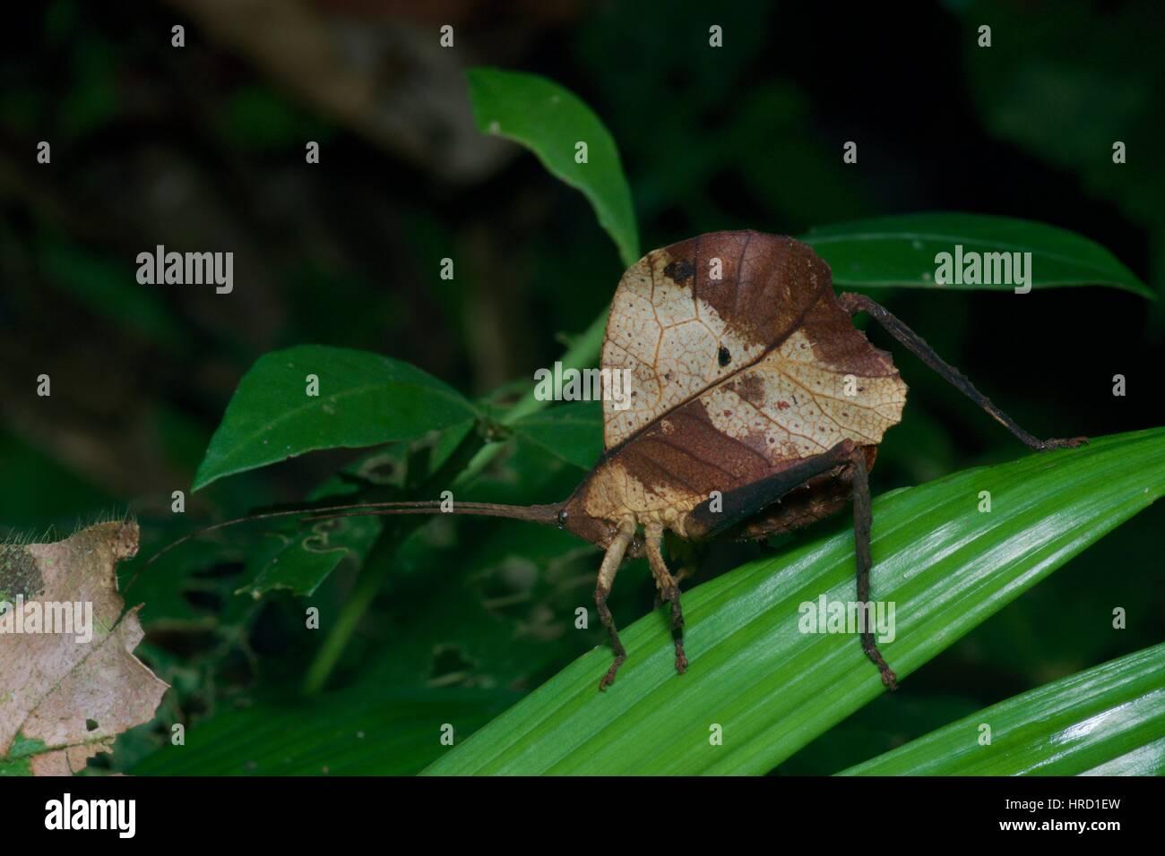 A dead-leaf mimic katydid (Typophyllum sp.) on a leaf in the Amazon rainforest at night in Loreto, Peru - Stock Image