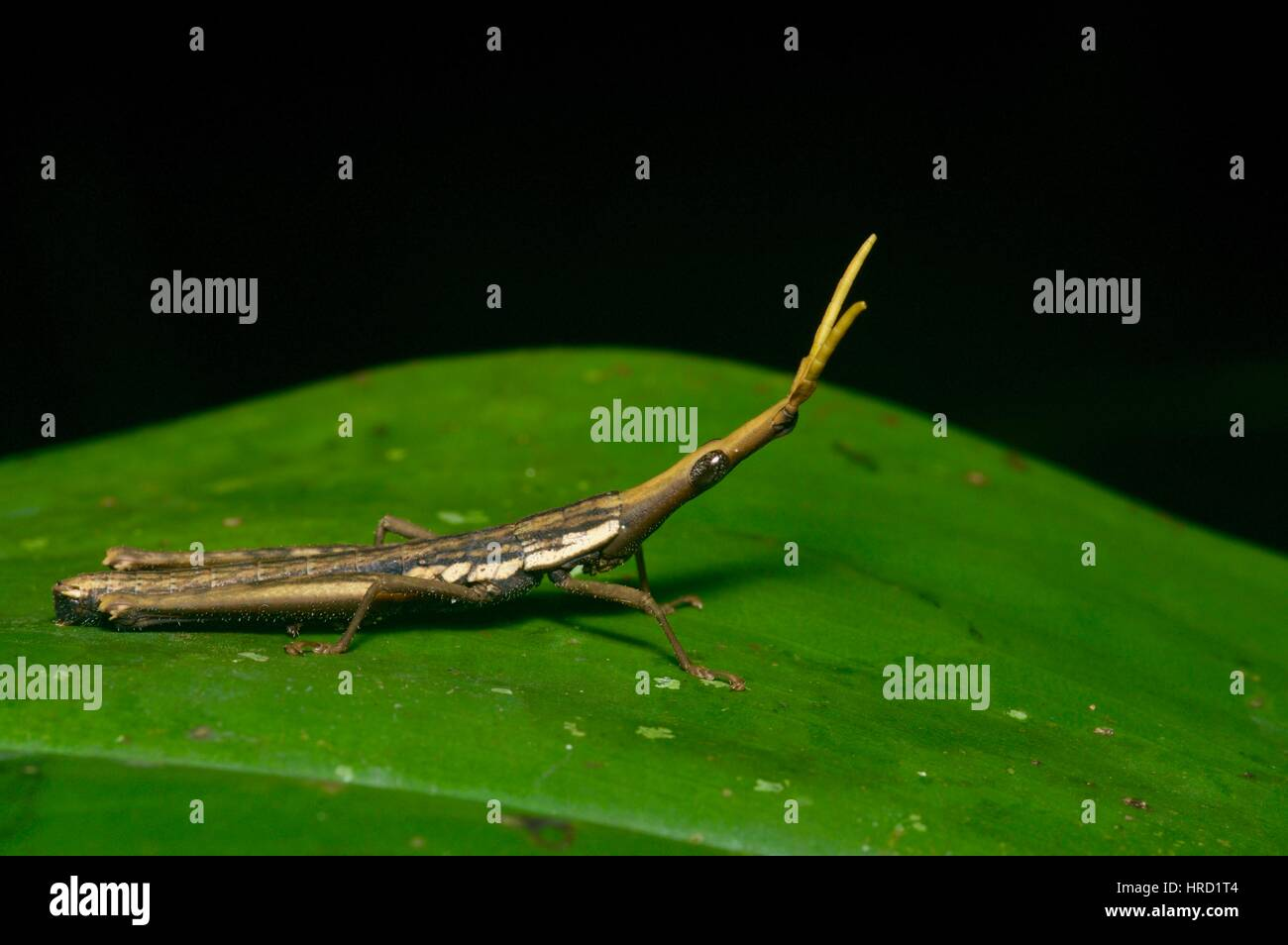 A Gaudy Grasshopper (family Pyrgomorphidae) in the Amazon rainforest in Loreto, Peru - Stock Image
