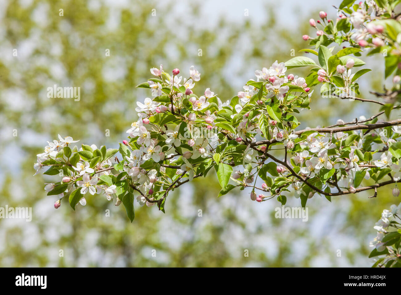 The limbs of a flowering tree, Maryland, USA. - Stock Image