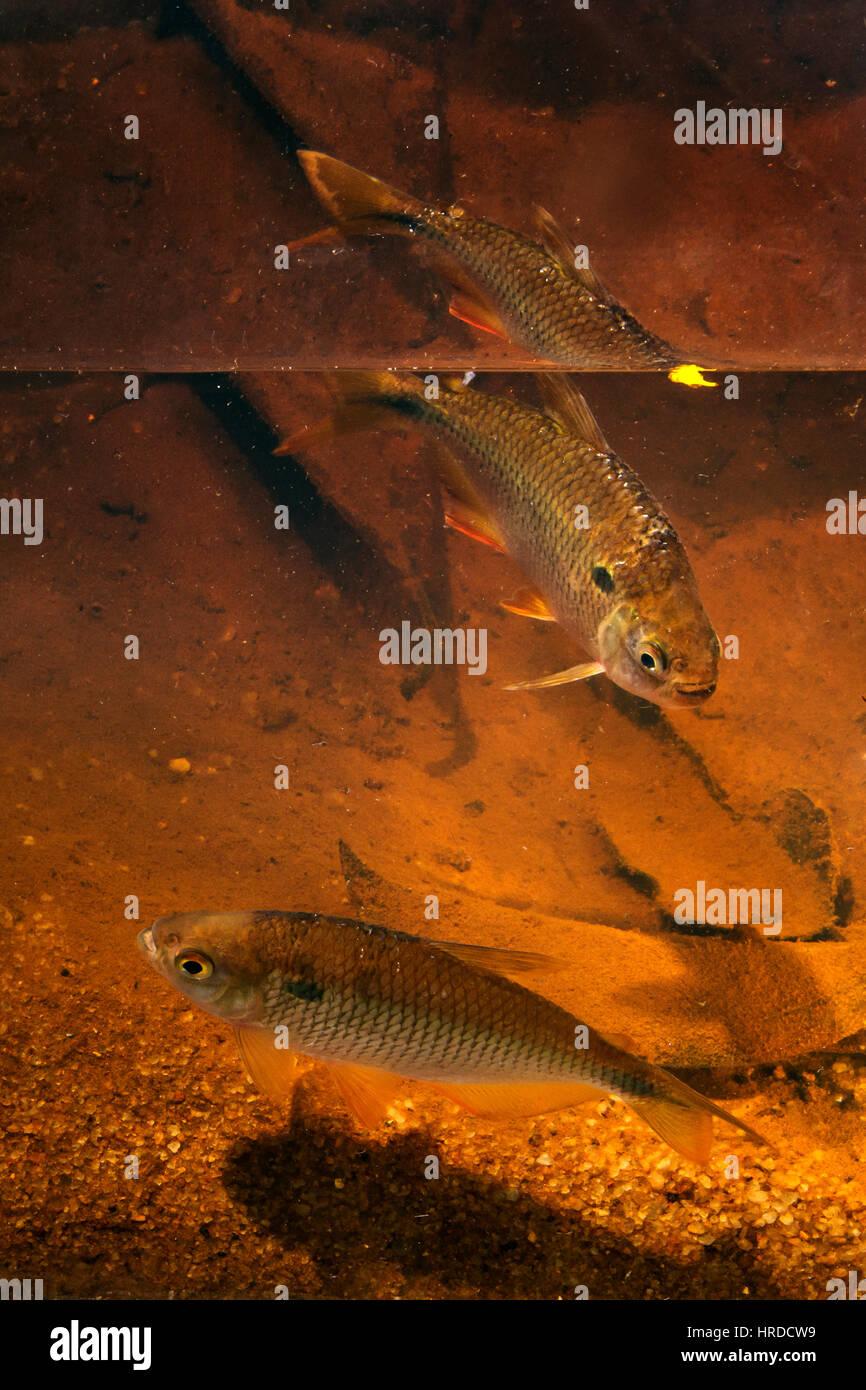 Fish Tambiú (Astyanax lacustris) photographed  in Sooretama/Linhares, Espírito Santo - Southeast of Brazil. - Stock Image