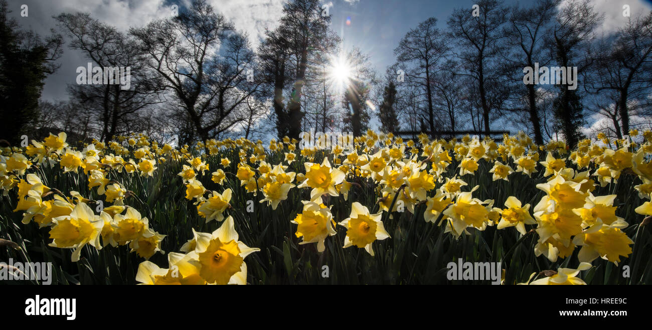 Daffodils on the canal embankment at Talybont on Usk in the Brecon Beacons, Brecon Beacons National Park, Wales, - Stock Image
