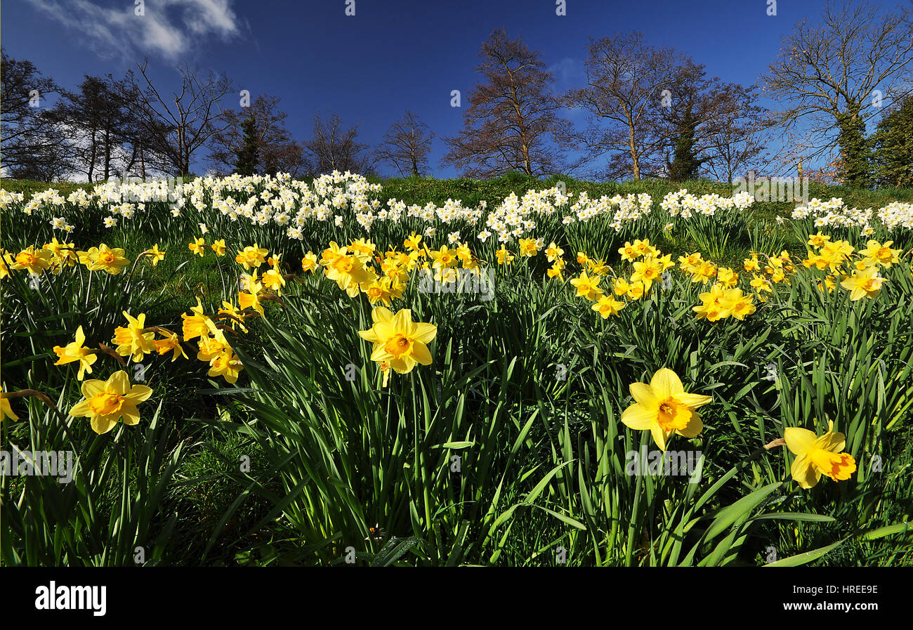 Daffodils in Talybont on Usk, Brecon Beacons National Park, Wales, United Kingdom - Stock Image