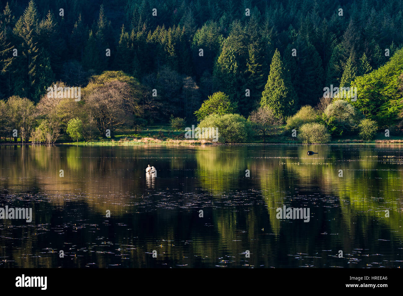 Talybont Reservoir at Dawn, Brecon Beacons National Park, Wales, UK - Stock Image